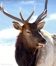 elk_tongue