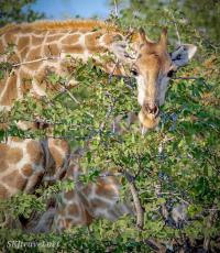 etosha, giraffe