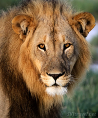 etosha, lion
