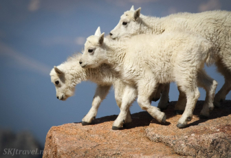 mount evans goats