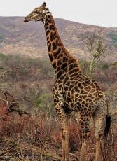 hluhluwe, giraffe