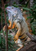 iguana_stick