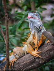 iguana_tongue