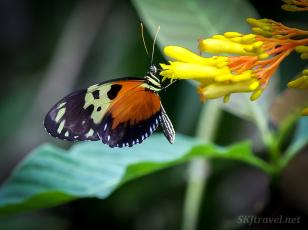 jungle_15insects_mariposa orange on yellow