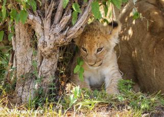 lion_Mara_EllyCub_fb