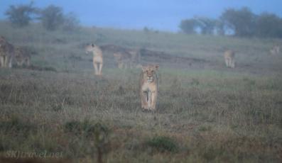 lionesses, masai mara