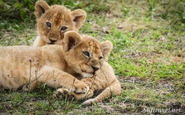 lion_Ndutu_babycubs1_fb