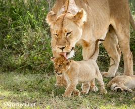 lion_Ndutu_lionesslickscub_fb