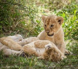 lion_Ndutu_littlecubs3