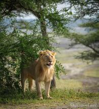lion_Ndutu_malelionbushes