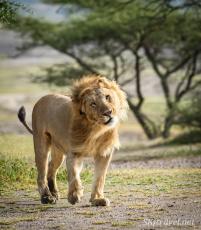 lion_Ndutu_malelionshakingmane_fb