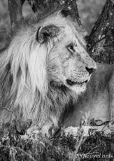 lion_Ndutu_pensivemale