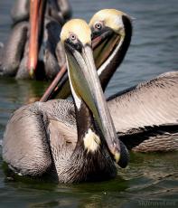 mx_pelican09