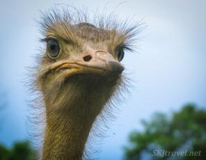 ostrich, uwec