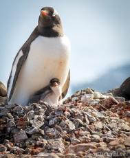 penguinLife_baby01