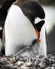 penguinLife_baby07