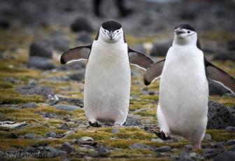 penguinLife_pair02