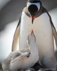 penguinLove_baby14