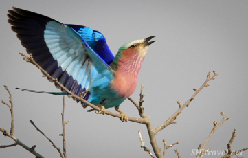 lilac breasted roller, african birds, savuti